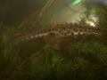 Mindre vattensalamander